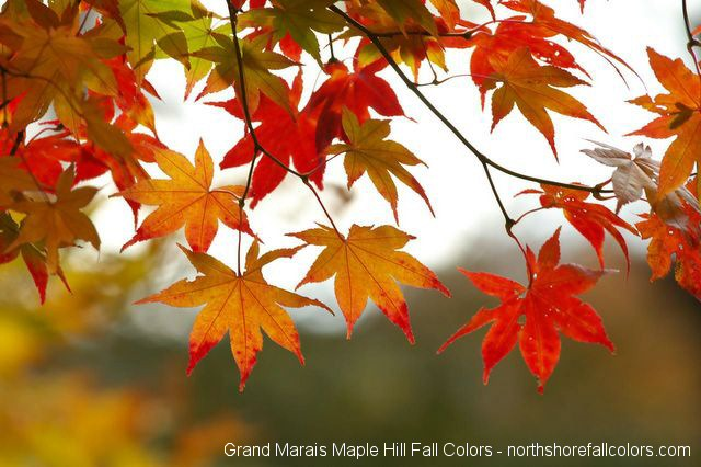 Leaves change color due to shifting rhythm of the day and night.