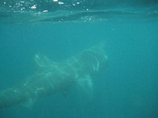 Een Riesenhai (requin pelerin). Des Kaerelen sin bei ons doheem, am mee, juni, juli an august