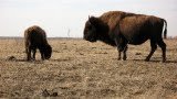 Bison, Tall Grass Prairie
