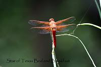 red dragonfly on a leaf