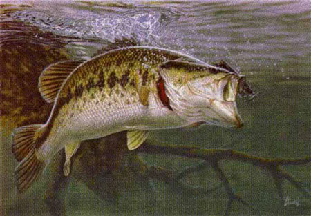 All about life largemouth bass the predator for Bass fishing pics