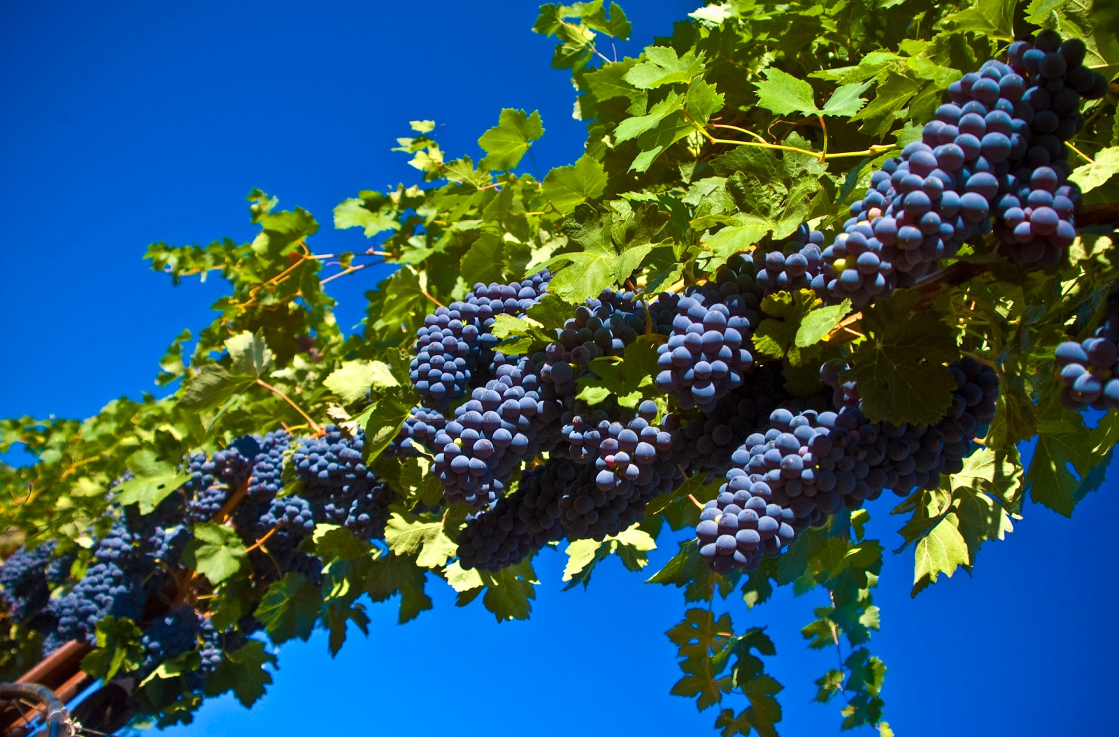 http://2.bp.blogspot.com/_2UbsSBz9ckE/TJAbsMnBkHI/AAAAAAAABWc/hvn5wkJ8xkE/s1600/grapes_Harvest_HD_background_Desktop.jpg