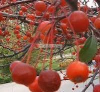 crab apples health benefit