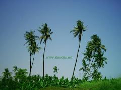 أشجار نخيل جوز الهند في صلالة