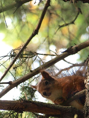 ekorre squirrel photo by Maria-Thérèse Andersson