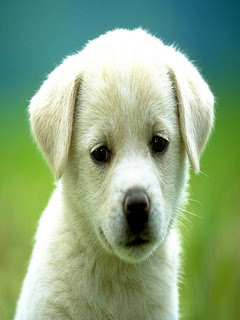 Free samsung corby wallpapers - cute puppy dog