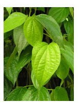 betel leaf to remove body odor