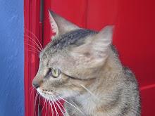 Gato Frevo