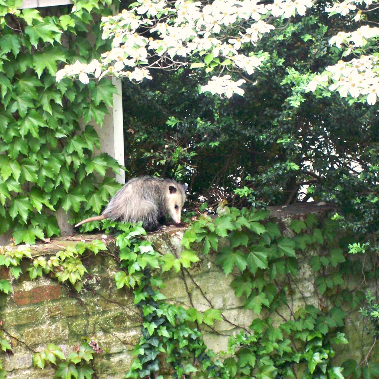 Les animaux - Page 37 Opossum+2+mai+2009