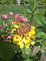 painted lady on yellow zinnia
