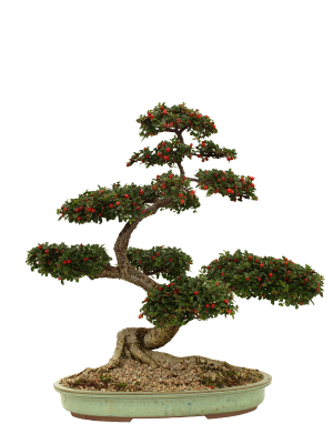 Grow Your Own Bonsai Without