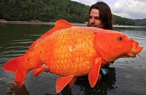 The fishing news record orange koi carp caught for Carpe koi orange