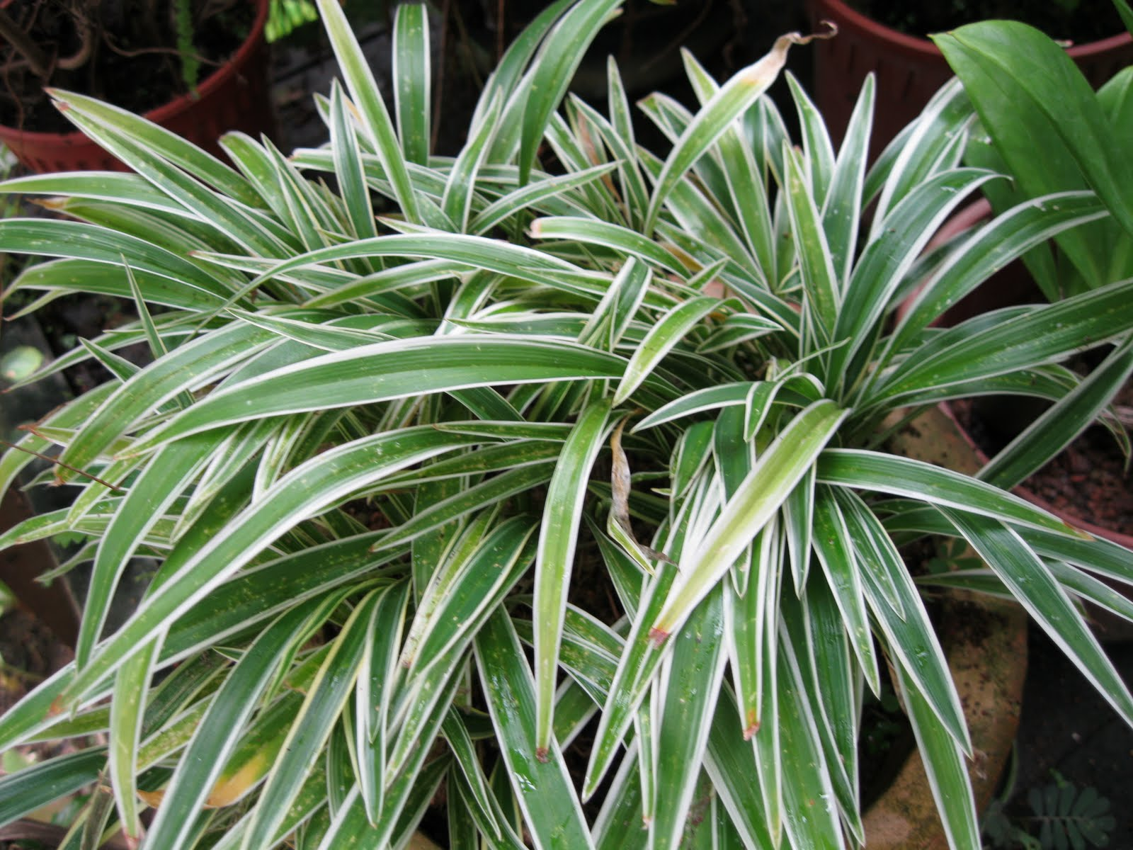 Go right in my garden a hybrid spider plant for Variegated grass plant