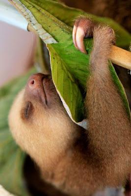Cute Baby Sloth Seen On www.coolpicturegallery.net