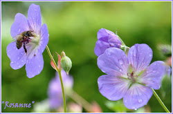 Geranium &#39;Rosanne&#39;