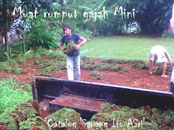 Suplai rumput gajah mini