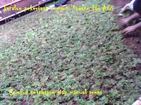 pasang rumput gajah mini