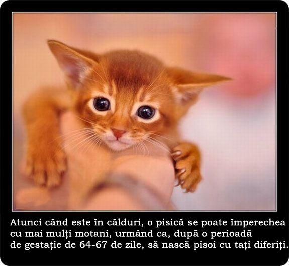 manx cat photos