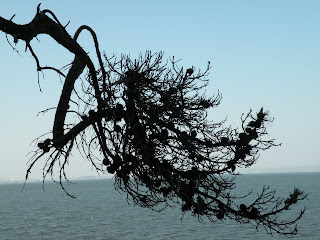 evergreen tree silhouetted over the San Francisco Bay