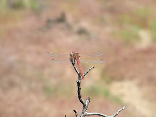 Lava Beds National Monument, dragonfly