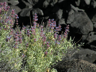 Lava Beds National Monument, purple salvia, Salvia Dorii, against black volcanic rocks