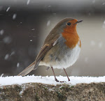 Perky robin on the wall