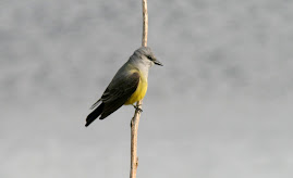 My Hook Bird Western Kingbird