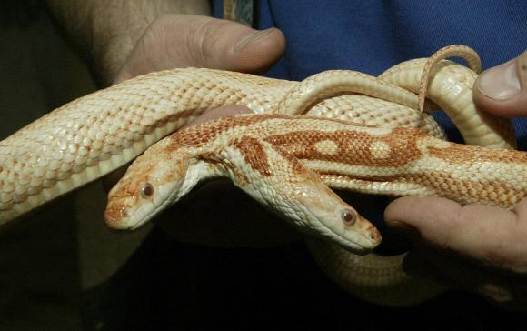 two headed albino black snake