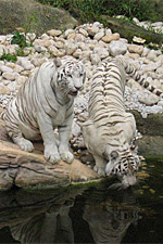 White tigers at a watering hole