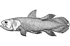 Diagram of Coelacanth