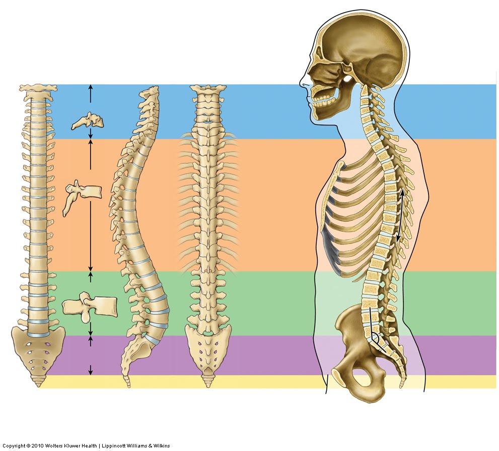 Encantador Anatomía De La Columna Vertebral Diagrama Colección ...