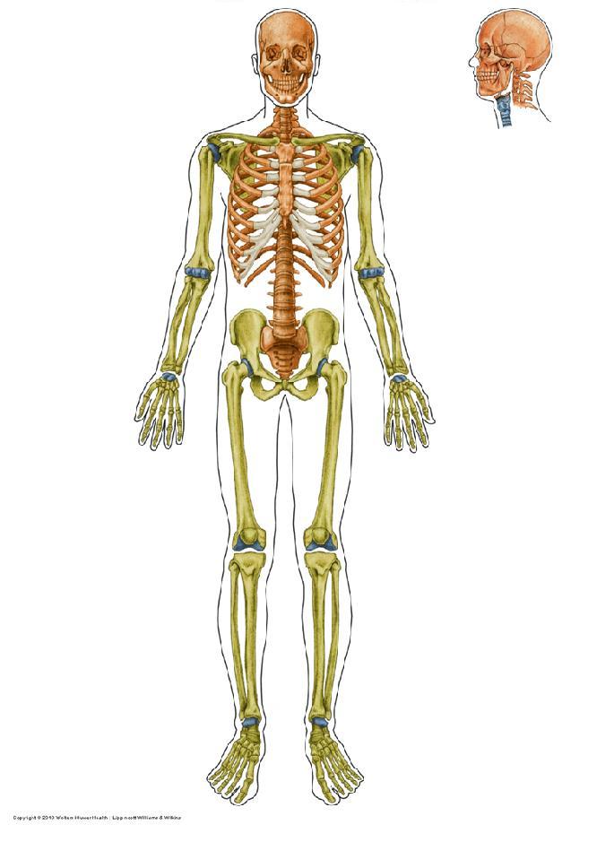 Anatomía UNAM: Esqueleto Axial y Apendicular