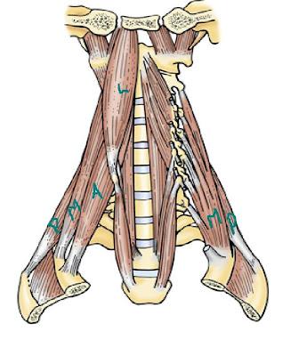Anatomía UNAM: Músculos Escalenos