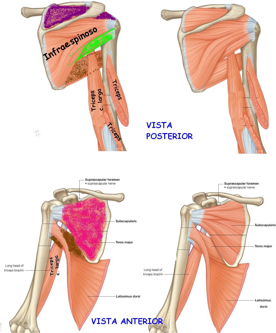 Lujo Del Manguito De Los Rotadores Anatomía Músculos Inspiración ...