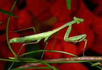 Insecto palo, un especialista en el mimetismo
