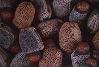 Huevos de insecto palo, su parecido a semillas es sorprendente