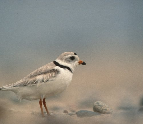 restoration of piping plover populations require Michael furtman photos a piping plover on minnesota point  to historical  hunting practices, use of feathers in millinery, and loss of habitat the population  dropped throughout the great lakes  what knowledge and experience do you  need.