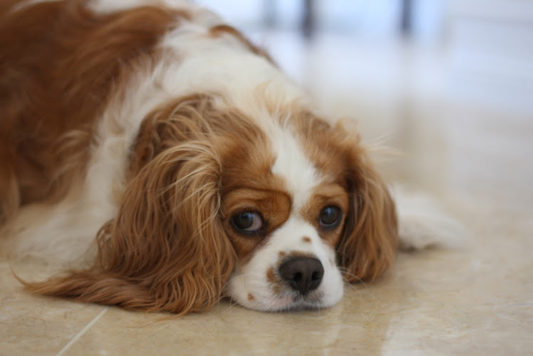 My Cavalier King Charles Rejects Being Rejected