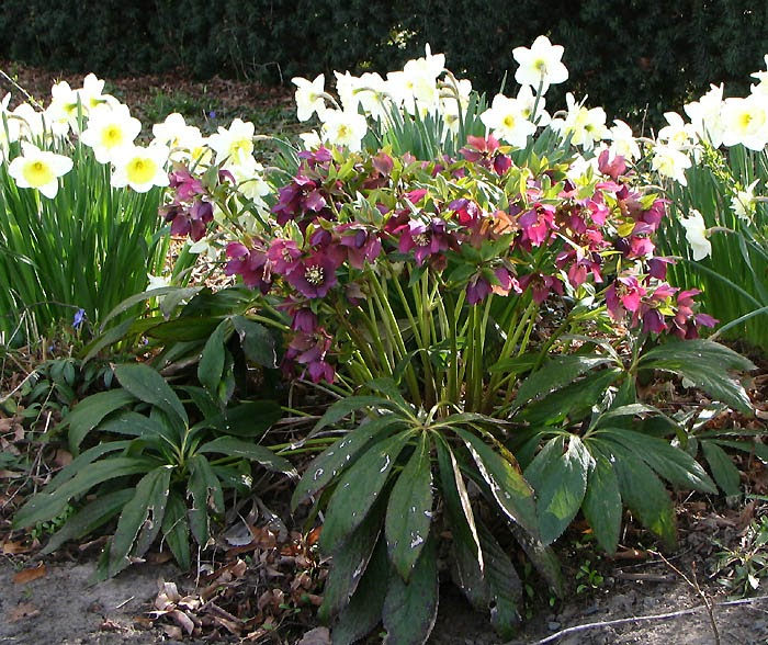 gardening shady style  hellebores  deer proof groundcover for shade