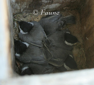 Chickadees in box feathered out