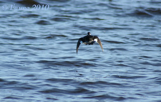 Bufflehead duck Currituck Sound