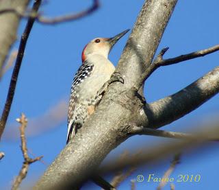 Red bellied woodpecker Currituck