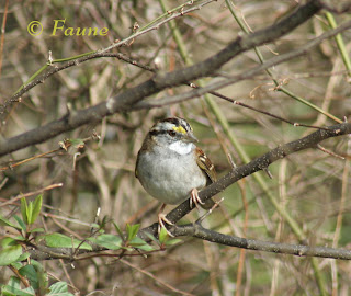 White-throated Sparrow Currituck