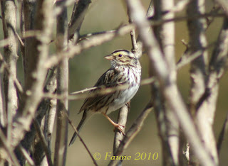 Savannah Sparrow Currituck