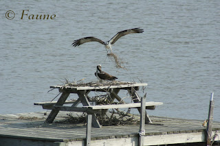 Osprey nest on picnic table