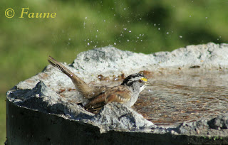 Sparrow in bath