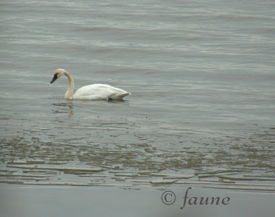 Swan in Icy Currituck Sound
