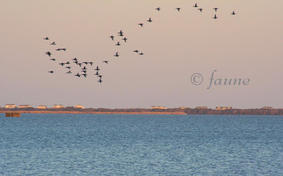 bluebill flock in the evening light