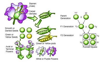 Sora soraia gen tica gregor mendel for Incompatibilidad en plantas