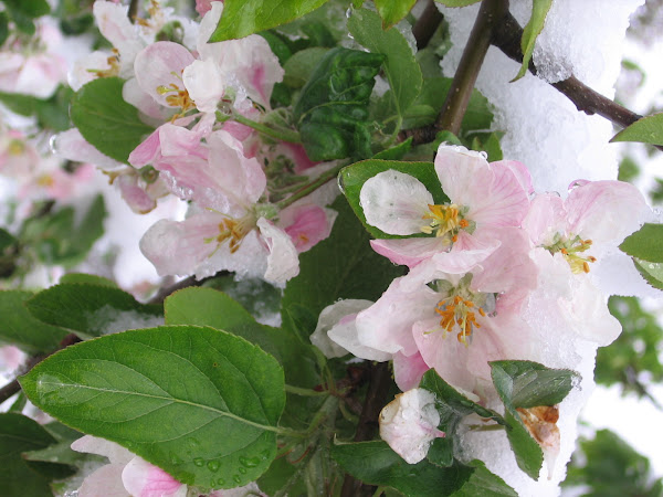 April 22 - Apple Blossoms in the Snow